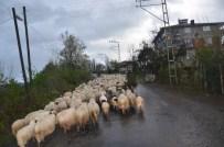 Koyunların Yayla Yolculuğu Başladı