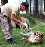 BENGAL - Kaplan Yavrusu Hayvanat Bahçesinin Maskotu Oldu