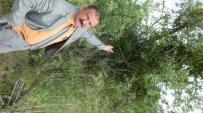 İvrindi'de Meyve Ağaçlarına Ökseotu Tehdidi