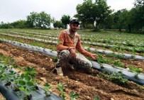 MURAT EFE - Üretici Barbunyadan Umudu Kesti, Çilek Ekti