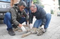 Isparta'da Ölü Anadolu Vaşağı Bulundu