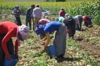 ERKAN KıLıÇ - Mülteciler Patates İşçisi Oldu