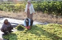 KEMAL İNAN - Alaşehir'de Üzüm İşçi Ücretlerine Yüzde 10 Zam