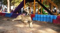 HÜSEYIN AKTAŞ - Sarıgöl'de Çoban Köpeği Güzellik Yarışması Yapıldı