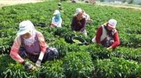 Turşuluk Acı Biber Çiftçileri Sevindirdi