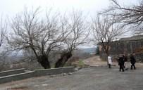 SÜLEYMAN DEMİR - Beş Asırlık Dut Ağacı Dimdik Ayakta