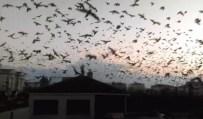 SIĞIRCIK - Sığırcık Kuşlarının Görsel Şovu Büyüledi