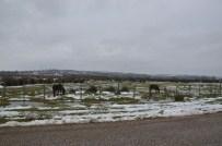 Akliman'da Yılkı Atlar