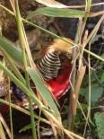CEP TELEFONU - Ovacık'ta Altuni Sülün Kuşu Görüldü