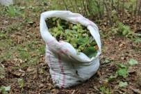 BİTKİSEL ÜRÜNLER - Fındık Bahçelerinde İkili Tarım Dönemi Başlıyor