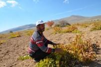 ÜZÜM BAĞI - Darende'de Üzüm Yetiştiriciliği Yok Olmak Üzere
