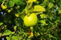 MUSTAFA YıLMAZ - Limon Üreticisinin Yüzü Güldü