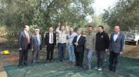 KARADERE - Burhaniye'de Belediye Zeytinleri İhaleye Çıktı