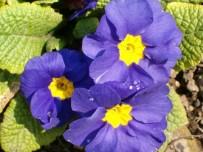 ÖMER COŞKUN - MS Hastalarına Çuha Çiçeği Tavsiyesi