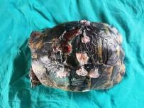 KUŞ CENNETİ - Yaralı Kaplumbağaya Estetik Operasyon