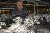 GÜNEŞ IŞIĞI - Antalya'da İstiridye Mantarı Üretimi Başladı