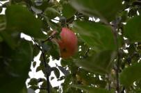 KAVACıK - 7 Yıl Sonra Gelen Esrarengiz Meyve