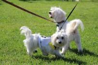 YETENEK YARIŞMASI - Köpeklerin Güzellik Yarışması Renkli Görüntülere Sahne Oldu