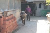 MESUT YıLDıRıM - Yeni Köylerinde Ahır Olmayınca, Buzağılarına Evlerinde Bakıyorlar