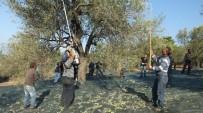 Burhaniye'de Zeytine Sinek Zararı