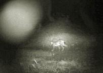 HAYVAN - Çorum'da İlk Kez Vaşak Görüntülendi
