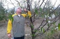 NAPOLYON - Bursa'da Kiraz Ağaçları Çiçek Açtı