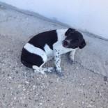 KÖPEK - Arabanın Çarptığı Köpeğe Büyükşehir'den Yardım