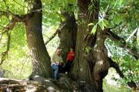 GERMIYANOĞULLARı - Türkiye'nin En Yaşlı Kestane Ağacı Kütahya'da