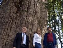 ORMAN VE SU İŞLERİ BAKANI - 4 Bin 112 yaşındaki ağaca ziyaretci akını