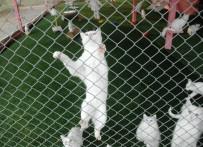 ANTALYA - Van Kedisi Fuarların Maskotu Oldu