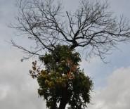 İSMAIL AYDıN - Simav'da 'Kestane Kanseri' Hastalığı