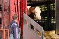 BÜYÜKBAŞ HAYVAN - Süt Parası Karşılığında İnek Dağıtılıyor