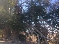 Elazığ'da 600 Yıllık Çınar Ağaçları Koruma Altına Alındı
