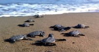 KAZANLı - Yeşil Deniz Kaplumbağalarında Bu Yıl Kazanlı'da Rekor Kırıldı