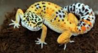 GÖZ KAPAĞI - Leopard Gecko, Adrenalin Dünyasında