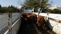 KADıOĞLU - Genç Çiftçilere 120 Adet Büyükbaş Hayvan Dağıtıldı