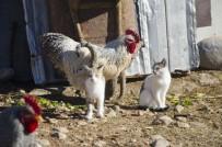 YAVRU KEDİ - Horoz Ve Kedilerin Şaşırtan Dostluğu