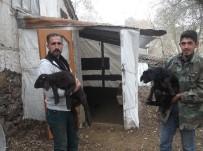 MEHMET NURİ ÇETİN - Varto SYDV'nin Dağıttığı Koyunlar Çift Doğuruyor