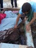 DENİZ KAPLUMBAĞALARI - Fırtına İle Sahile Vuran Caretta Carettalar Bakıma Alındı