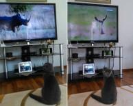 BELGESEL - Entelektüel Kedi Günde 5 Saat Belgesel İzliyor