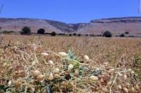 KIRLANGIÇ - Nohut Tarımı