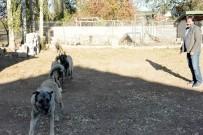 150 Yıllık Secereli 'Panter Kangal' Irkını Uşak'ta Yetiştiriyor