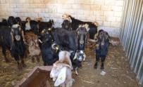 Kırıkhan'da 41 Adet Kaçak Keçi Yakalandı