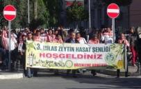 SITKI KOÇMAN ÜNİVERSİTESİ - Milas 3. Zeytin Hasat Şenliği Başladı