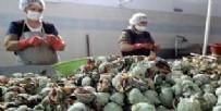 EKOLOJIK - Deniz salyangozu gelir kapısı oldu
