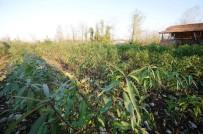 DOKU KÜLTÜRÜ - Büyükşehir Sahip Çıktı, Şeftali Üretimi Geri Dönüyor