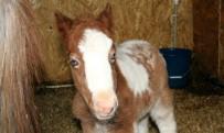 TAŞDELEN - Pony Park'ta Bebek Pony Sevinci