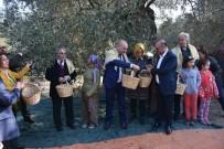 ANKARA ÜNIVERSITESI - Asırlık Ağaçlardan Zeytin Topladılar