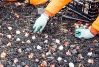 LALE SOĞANI - Sincan'da 2 Milyon Lale Soğanı Dikildi