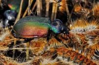 ÇAM KESE BÖCEĞİ - Orman Muhafızı Böcekler Kazdağları'nda